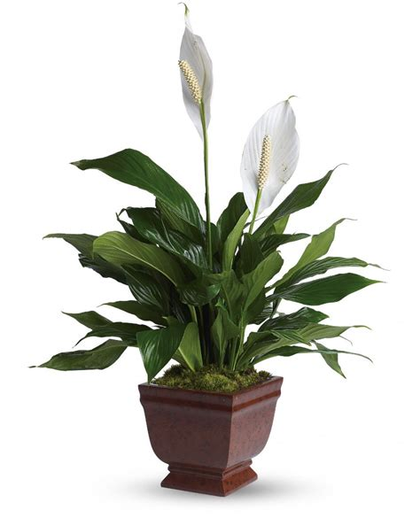 indoor lilies plants that clean the air in your home no voc plants
