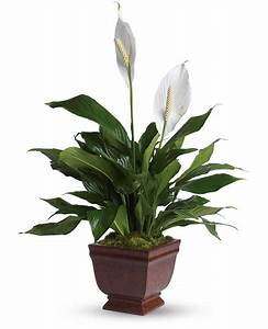 12 best houseplants for improving the air quality in your home for Peace lily in bathroom