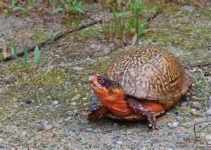 Eastern Box Turtle Species