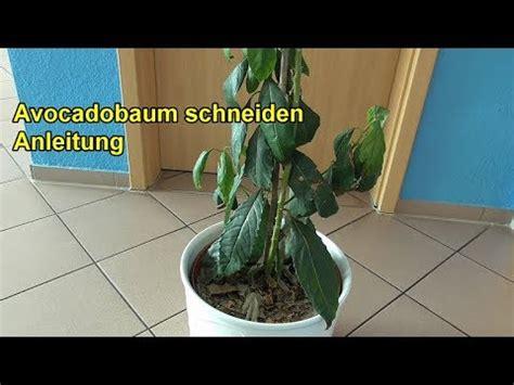 baum komplett zurückschneiden avocadobaum richtig schneiden anleitung avocado baum zur 252 ckschneiden beschneiden