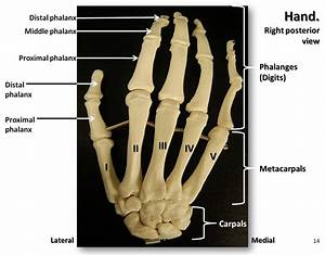 Bones Of The Hand  Posterior View With Labels