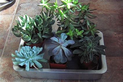 how to care for potted succulents 17 best images about succulent care on pinterest growing succulents soldiers and succulent wall