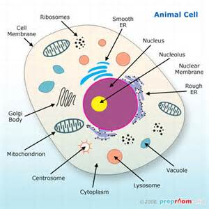 Animal Cell Organelle Structure and Function
