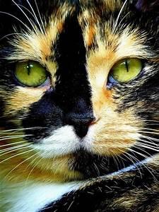 calico, cat, eyes, green, kitten - image #288040 on Favim.com