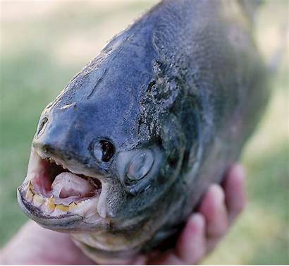 Pacu Fish Jersey Teeth Human Invasive Species