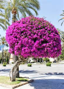Giant Bougainvillea Tree