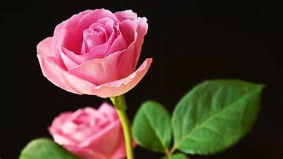 Pink Roses Wallpapers 1600