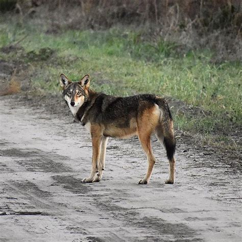 wolf population wolves carolina north law wild wildlife dwindles suit center alligator coastal river fws defenders country air today redwolves