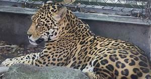 Escaped Jaguar Kills 6 Animals At New Orleans Zoo | HuffPost  Jaguar