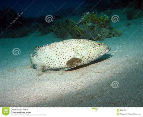 grouper greasy fish arabische tandbaars vettige pesci grassi arabo dell arabian fishing female