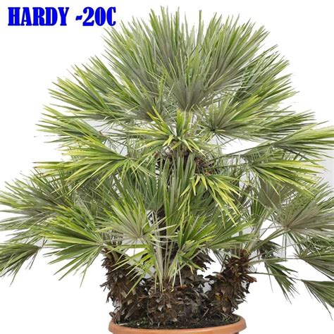 european fan palm mediterranean dwarf palm seeds