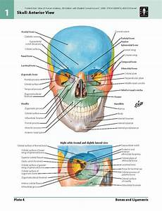 Netter U0026 39 S Anatomy Muscles