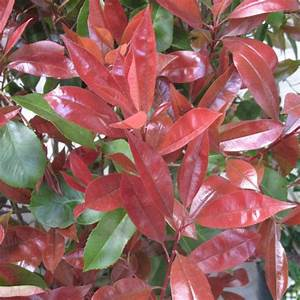 Photinia Red Robin : photinia 39 red robin 39 plantes et jardins ~ Michelbontemps.com Haus und Dekorationen