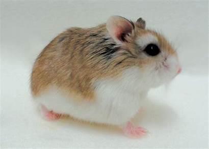 Hamster Dwarf Hamsters Pets Petco Pet Care