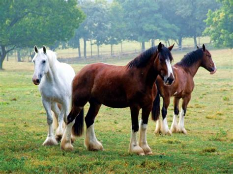 horse breeds american horses shire history breed rare magazine america knights grit oldest mares animals
