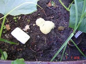 Schleimpilze Im Garten : pilz schleimpilz chiliforum hot ~ Lizthompson.info Haus und Dekorationen