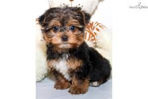 Teacup Yorkie Poo Puppies