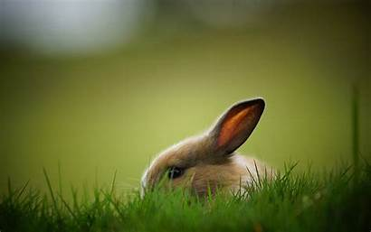 Bunnies Rabbit Backgrounds Wallpapers Rabbits Windows