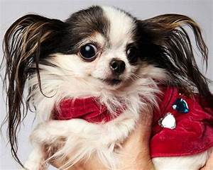 Smallest dog | 15 pets with Guinness World Records | MNN ...