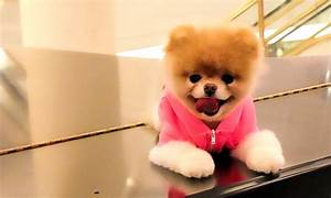 Boo Dog is the world's cutest Dog - Pomeranian of Boo