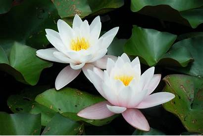 Flower Lotus Wallpapers Background India National