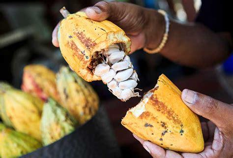 la materia prima il cacao antica dolceria bonajuto