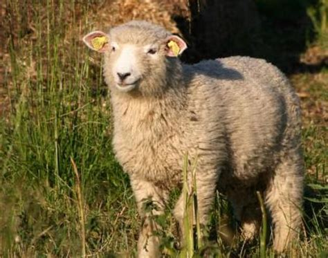 sheep names sheep ovis aries animals a z animals