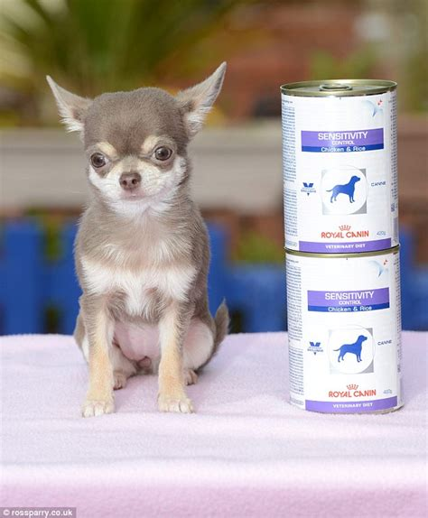 bag of kisses uk 39 s smallest is a chihuahua called bibity bobity boo