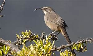 California Thrasher - Introduction | Birds of North ...