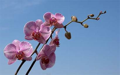 Orchid Phalaenopsis Wallpapers Orchids Flower Desktop Fabiovisentin