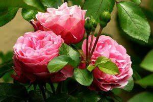 Rosen Schneiden Zeitpunkt : einmalbl hende rosen schneiden ~ Frokenaadalensverden.com Haus und Dekorationen