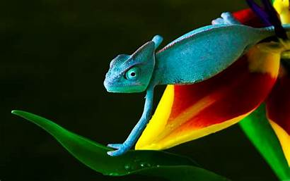 Wallpapers Desktop Chameleon Widescreen Tongue Lizard Wallpapersafari