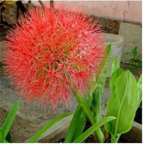 tanaman bunga desember blood lily bibitbungacom