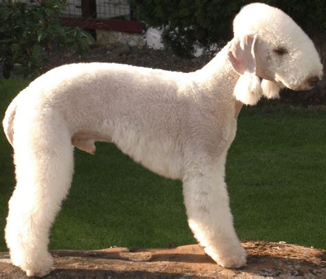 image gallery non shedding dog breeds