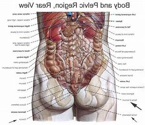 Human Anatomy Of Internal Organs From Back Side - Diagram ...
