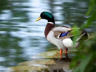 Duck River Braunfels