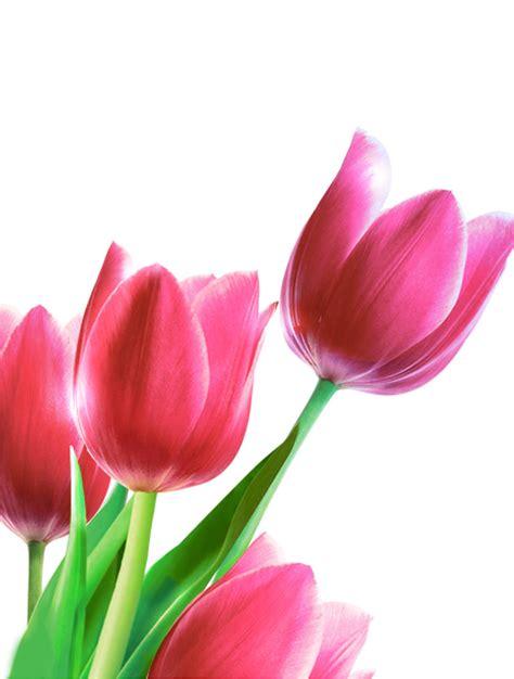 Tulip Flower Image by Images Of Tulip Flower Impremedia Net