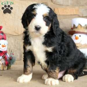 ship  gfp shipping puppies greenfield puppies
