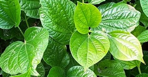 1001 rahasia kegunaan tanaman obat daun sirih informasi