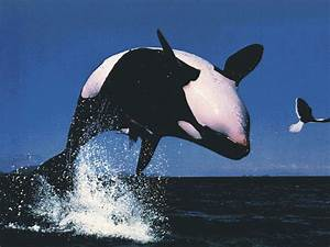 All photos gallery: Orca jumping, orca jumping out of ...