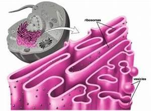 Rough Endoplasmic Reticulum - Organelles