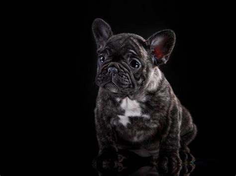frenchie colors understanding bulldogs colors bulldog