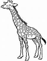 Giraffe Coloring Cool Giraffes Under Sleep Girafe Head Less Hours General Than sketch template