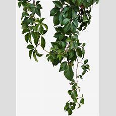 Green Vines, Green Leaf Vines, Green Leaves, Sticks Png