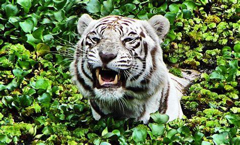 der tiger die groesste raubkatze der welt abenteuer