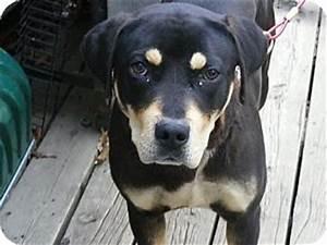 Bessie | Adopted Puppy | Toledo, OH | Rottweiler/Labrador ...