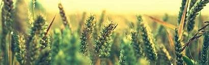 Panoramic Wallpapers Wheat Iphone Cool Previous Ripe