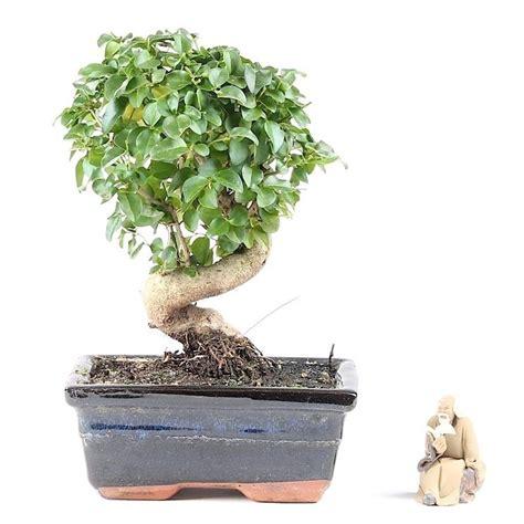 vasi per bonsai grandi ligustrum bonsai attrezzi e vasi per bonsai ligustrum