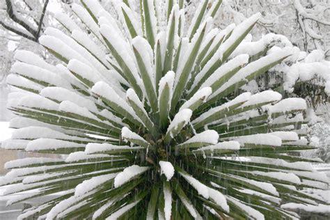 yucca palme 187 winterharte sorten und winterschutz der palmlilie - Yucca Palme Winterhart