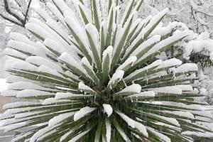 Yucca Palme Winterhart : yucca palme winterharte sorten und winterschutz der palmlilie ~ Frokenaadalensverden.com Haus und Dekorationen